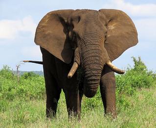 Afrika Olifant / African Elephant