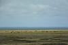 Cows on the island of Fanoe (Leon Bovenkerk) Tags: fanoe island cows grad sea