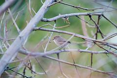 American Bushtit. (LisaDiazPhotos) Tags: americanbushtit lisadiazphotos backyard bird birdwatch birdwatching birdstagram