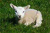 Spring Lamb (MeirionWyn) Tags: 2017 spring wales northwales denbighshire henllan nature lamb