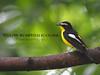 Yellow-rumped Flycatcher (WilliamPeh) Tags: olympus omd em1 birds birding wild wildlife explore yellow rumped flycatcher