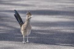 Greater Roadrunner (dbifulco) Tags: sonorandesert tucson arizona wildlife nature bird greaterroadrunner