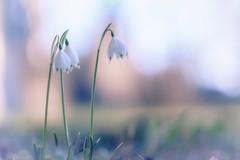 sweet.dreams (_andrea-) Tags: sonya7m2 märzenglöckchen frühlingundanderegefühle winter sweetdreams objektiv outdoor mount carlzeiss planart1450 märzenbecher januar