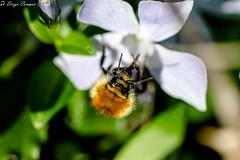 Antenitas!!! (Moordenaar) Tags: canon 50mm 18 vintage sony ilcea6000 a6000 abeja flor macro fd100mmf4 verde naturaleza insecto alimentarse antenas naranja ojos boca pelos