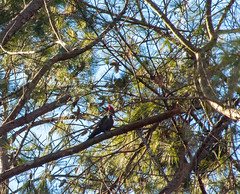 Pileated Woodpecker12 (Dok Johnson) Tags: georgia woodpecker backyards southernpileatedwoodpecker