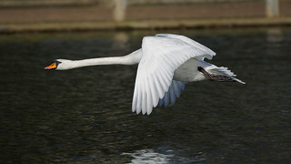 a Swan in flight watching to me