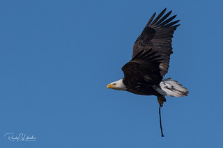 Bald Eagles of the Jersey Shore | 2018 - 11