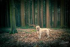 My buddy, Buddy (Jan-Willem Adams) Tags: adamsphotography buddy dog honden labrador nederland netherlands