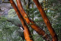 Madrone trunks (rozoneill) Tags: rogue river trail blm medford grants pass galice whiskey creek cabin graves rainie falls rapids oregon hiking