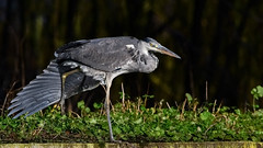 The caped crusader (Paul Wrights Reserved) Tags: heron bird birding birdphotography birds birdwatching beautiful wing beak oneleg leg feather feathers eye stalking