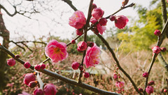 Plum (Yen L.) Tags: japan shikoku takamatsu flower landscape りつりんこうえん 栗林公園 ritsurin garden 梅