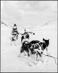 And then you stop, but not to shake snow from your fur (nahlinse) Tags: arktis blackwhite dogsledding dogs film husky ice svalbard travel filmdev:recipe=9369 fujineopanacros100 adoxadonal film:brand=fuji film:name=fujineopanacros100 film:iso=100 developer:brand=adox developer:name=adoxadonal arctic
