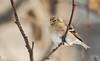 Chardonneret jaune // American Goldfinch (Keztik) Tags: chardonneretjaune americangoldfinch carduelistristis chardonneret goldfinch bird oiseau animal wildlife nature winter hiver nikon d7500