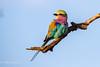 Lilac Breasted Roller (mayekarulhas) Tags: krugerpark mpumalanga southafrica za lilac roller safari bird avian africa wildlife wild canon