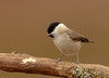March Tit (microwyred) Tags: birdwatching feather birds abstracts perching wildlife