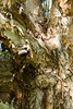 A ball stuck in a paper bark tree on the 17th hole (Ladies European Tour) Tags: coffsharbour newsouthwales australia aus