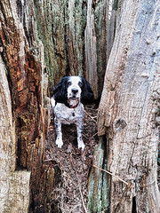 In a Tree Again (Gilder Kate) Tags: cockerspaniel cocker workingcockerspaniel richmondpark richmond london royalparks treestump hollowtree panasoniclumixdmctz70 samsung samsunggalaxys5mini samsungmobile hdr