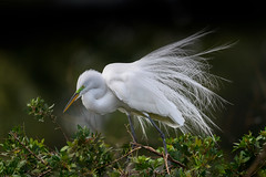 Great egret (Ardea alba) in breeding plumage at Venice Rookery, Venice, Florida (diana_robinson) Tags: greategret ardeaalba floridabird bird whitefeathers breedingplumage venicerookery venice florida