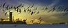 Smooth Operators (beachpeepsrus) Tags: flight birds ocean rynchopsniger blackskimmers whiteisland westcoast water alamitosbay beachfront beach boats california clouds color light