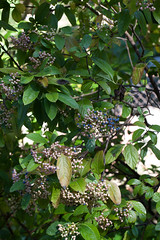 jdy256XX20160912a3074.jpg (rachelgreenbelt) Tags: ghigreenbelthomesinc familyadoxaceae usa eudicots greenbelt northamerica midatlanticregion ouryard orderdipsacales asteridsclade campanulidsclade maryland americas viburnum magnoliophyta adoxaceae adoxaceaefamily asterids dipsacales dipsacalesorder floweringplants spermatophytes