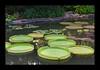Duke Gardens July 2015 9.18.12 PM (LaPajamas) Tags: nc flora dukegardens gardens