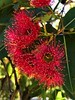 Flowering Gum Tree. (steven.campbell@lizzy.com.au) Tags: iphonephoto flowers flowering iphone8 iphoneography