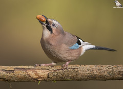 "Acorn Time ! (Mick Erwin) Tags: nikon afs 600mm f4e fl ed vr lens d850 ""mick erwin"" stoke trent staffordshire wildlife nature ""nikon d850"" jays eurasianjay jaybird eurasian jay garrulus glandarius corvid"