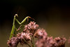 Praying Mantis (Tzacol) Tags: praying mantis fujifilm xa1 60mm macro insect animal plants plant bokeh forest woods green brown fall summer nature naturephotography wishiwasmantisman