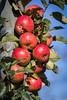 Altes Land-1093 (Tiedeblick) Tags: altesland erntezeit herbst äpfel