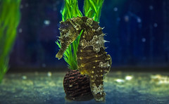 Seahorse (Paula Darwinkel) Tags: seahorse hippocampus sea sealife ocean underwater fish aquaticlife aquarium animal wildlife nature
