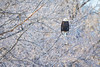Amongst the Frost (jeff_a_goldberg) Tags: americanbaldeagle baldeagle wildlife winter nature bird haliaeetusleucocephalus eagle redwing minnesota unitedstates us