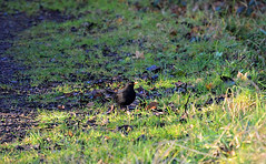 Black Bird(1) (kanefairless) Tags: blackbird bird animal green wild grass life