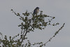 IMG_3405 (armadil) Tags: edgewoodpark bird birds jay jays scrubjay