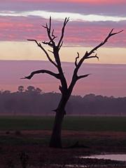 lone tree sunset... (al-ien) Tags: florida lonetree sunset floridasunset sky nature tree