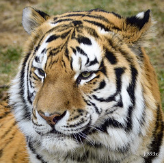 Amur Tiger Portrait (jt893x) Tags: 150600mm amurtiger d500 jt893x male nikon nikond500 pantheratigris portrait sigma sigma150600mmf563dgoshsms tiger thesunshinegroup coth alittlebeauty sunrays5 coth5
