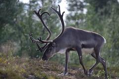 Strutting along (Tuomo Nykänen) Tags: reindeer poro horns sarvet rangifer tarandus finland suomi luonto nature finnish