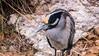 Yellow Crowned Night Heron 2 (treehuggerdcg) Tags: yellowcrownednightheron bird heron sanantonio avian