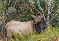 Roosevelt Bull Elk (Cervus canadensis roosevelti) - Warrenton, OR (bcbirdergirl) Tags: bullelk bull male stag roosevelt largestelkspecies adult cervuscanadensisroosevelti olympicelk wapiti deerfamily mammal wildlife