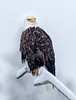 Bald eagle by Madison River (adovision) Tags: yellowstone national park winter trees bald eagle