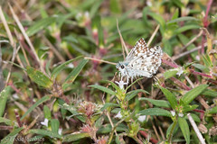 Common Checkered-Skipper (Pyrgus communis) (Frode Jacobsen) Tags: commoncheckeredskipper pyrguscommunis lepidoptera butterfly insect