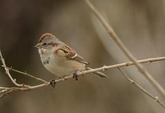 American Tree Sparrow by Jackie B. Elmore 1-24-2018 Lincoln Co. K (jackiebelmore) Tags: spizellaarborea americantreesparrow sparrow lincolnco kentucky nikon7100 tamronsp150600f563 jackiebelmore kos