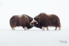 Mirror Image (Dan King Alaskan Photography) Tags: muskox muskoxen ovibosmoschatus tundra snow winter prudhoebay alaska canon50d sigma80400mm