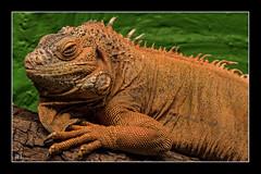 """LOKI"" der Leguan (roland_lehnhardt) Tags: allgäu canon ef50mmf18ii eos60d macro makroaufnahme nahaufnahme schmetterlinghausinpfronten tiere animals leguan iguanaiguana"