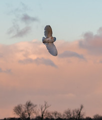 BB5I6970 (Trefor2011) Tags: barnowl norfolk sunset