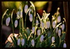 Winter sun on Snowdrops (* RICHARD M (Over 7 MILLION VIEWS)) Tags: flowers flora botany nature wildflowers snowdrops galanthus plants february backlit backlighting contrejour backlitflowers backlitsnowdrops heskethpark southport sefton merseyside translucent translucence parks publicparks municipleparks parkland woodland winter wintertime aglow glowing goldenhour happiness everlastinglife