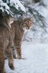 Touch Fluffy Tail (Areksim) Tags: lynx pforzheim wildlife germany wildpark winter snow forest cold nikon d7100 europe animals feline cat