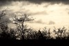 Will It Rain? (The Spirit of the World ( On and Off)) Tags: clouds storm nature trees wild wilderness landscape rain ngala timbavati southafrica africa