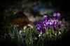 Here comes Spring (jayneboo) Tags: crocus purple garden home spring life bulbs light shade shadows leica cl