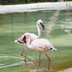 Pareja de flamencos (alfonsovalgar) Tags: fujifilm xt2 selwo aventura málaga españa aves flamencos flamingo