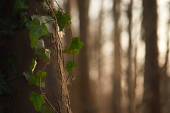 One-sided relationship (Stefan Zwi.) Tags: efeu ivy forest bokeh licht light tree ngc npc